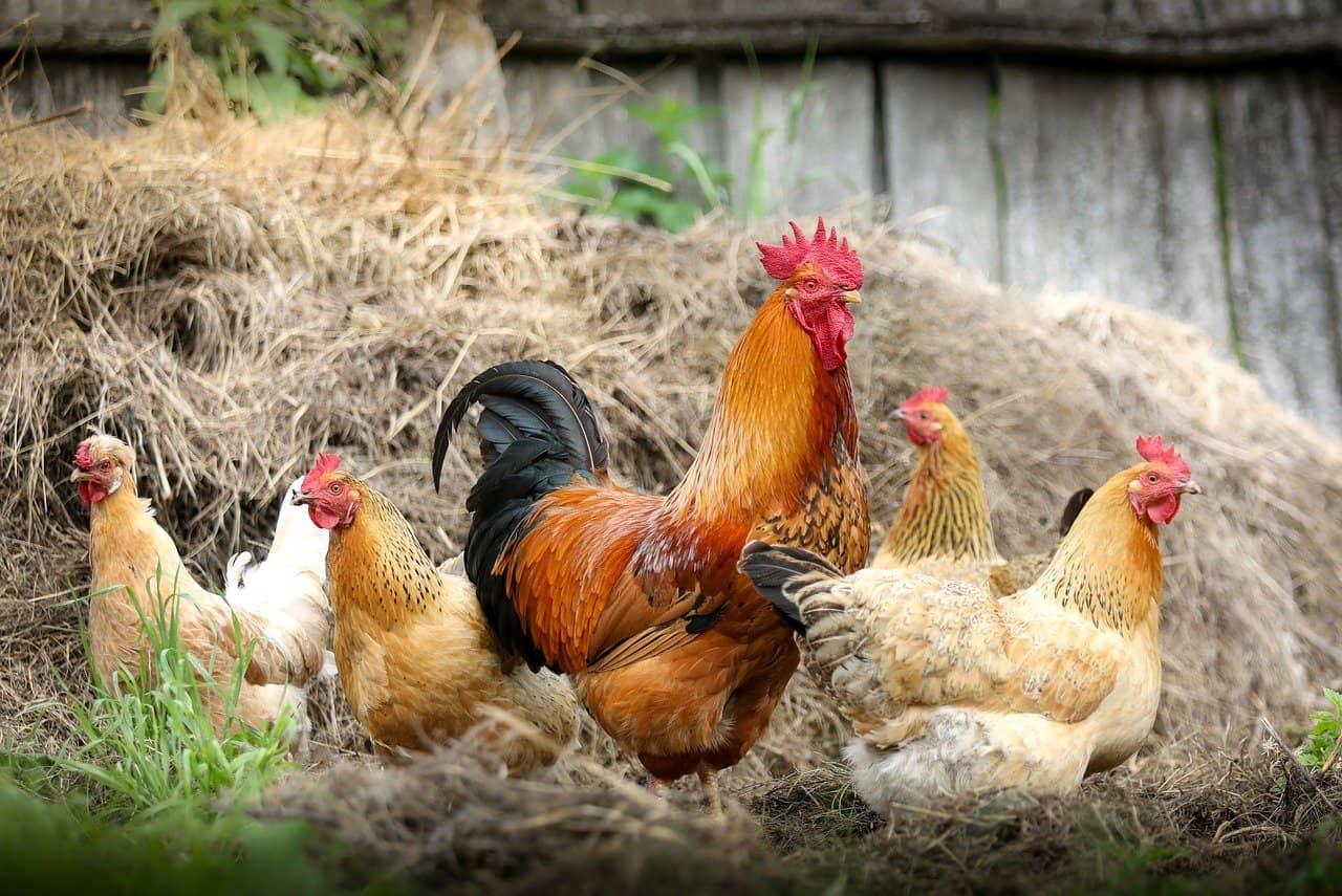 Ryzyko wystąpienia w Polsce wysoce zjadliwej grypy ptaków (HPAI)