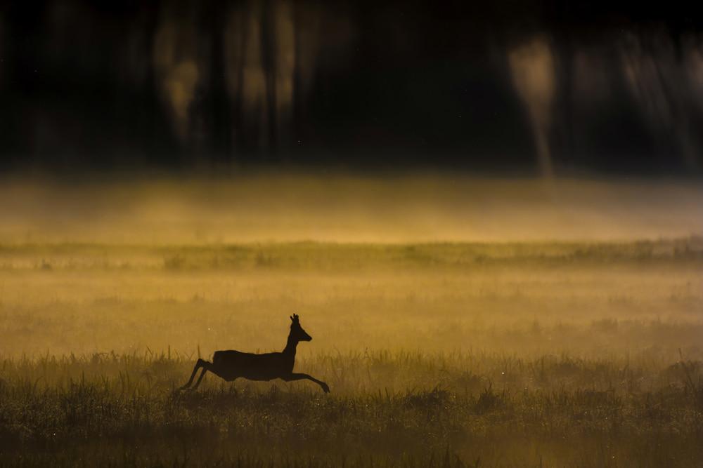 Sarna w Łomżyński Parku Krajobrazowym Doliny Narwi